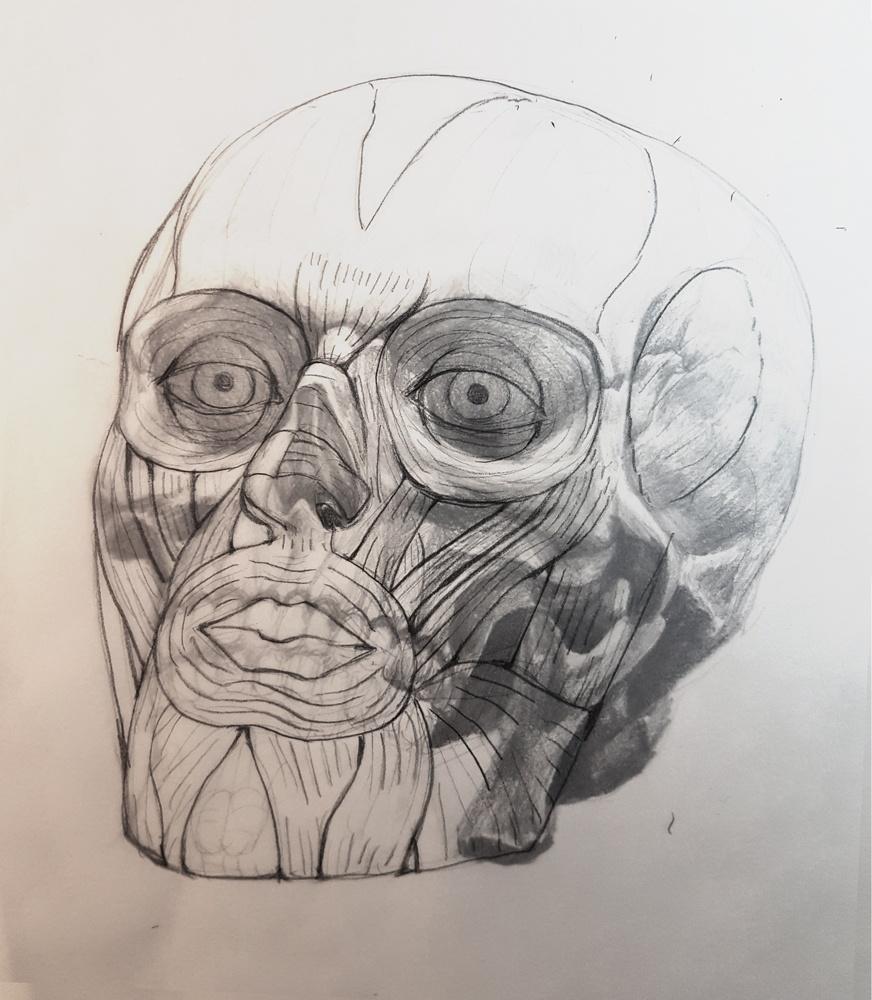 Skull studies muscles pencil drawing by Smirking Raven