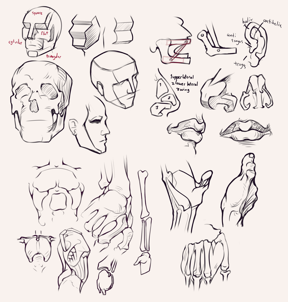 Drawing drill&nbsp;#27: <br>Bridgman studies, head, face, torso and hands by Smirking Raven